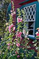 Hollyhocks, Alcea, tall vertical plant, pink flowers