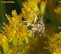 0904-06uu  Ambush bug - Phymata spp. Virginia - © David Kuhn/Dwight Kuhn Photography.