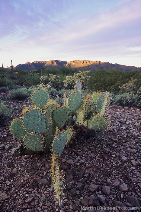 Engelmann's prickly pear (Opuntia engelmannii) at sunrise, Organ Pipe Cactus National Monument, Arizona