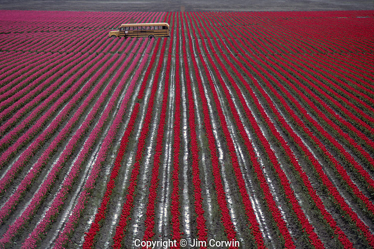 Rows of multi colored tulips with yellow bus in field Skagit County near Mount Vernon Washington State