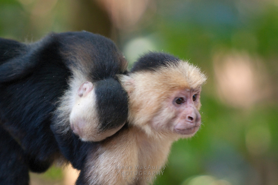 White Faced Capuchin Monkey, White Headed Capuchin Monkey (Cebus capucinus)