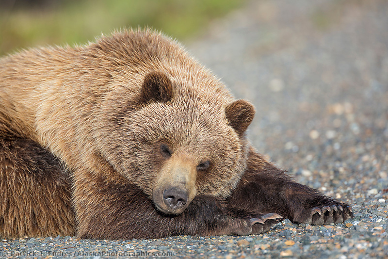 Young grizzly bear napping along the Denali Park road, Denali National Park, Alaska.