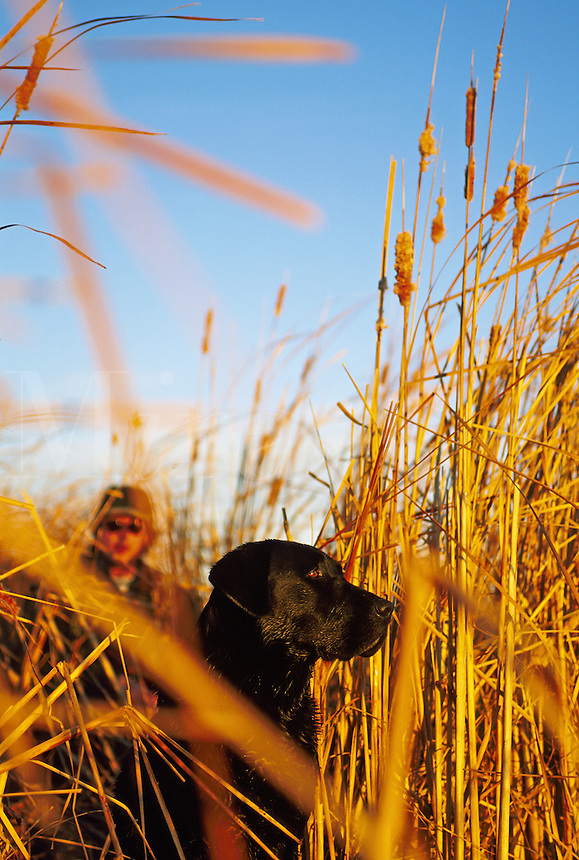 An alert Black Labrador dog with a hunter within a cattail hunting blind.