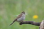 Chipping sparrow holding strands of hair