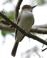 Puerto Rican flycatcher