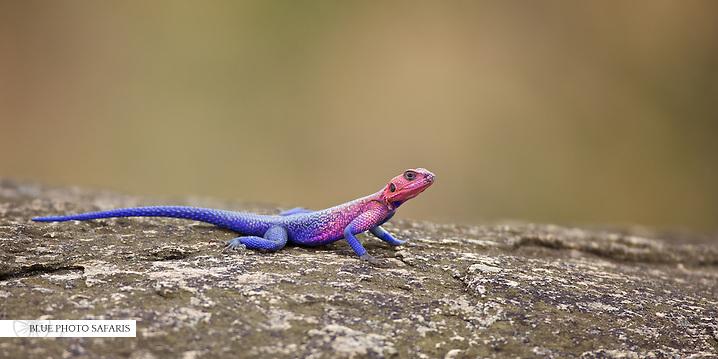 Agama lizard, Northern Serengeti