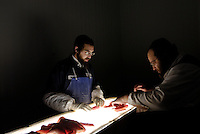 Moshe Mairowitz (right), the Plant Manager of A&B Famous Gefilte Fish, Inc in New Jersey, checks whitefish on a light box to see if it has any infestation of worms. Once checked, the fish is mixed with various other ingredients and made into Gefilte fish.©Andrew Testa