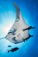 Giant Manta Ray at San Benedicto Island, Revillagigedos, Mexico