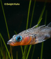 1S14-634z   Male Threespine Stickleback, Mating colors showing bright red belly and blue eyes, close-up of face, Gasterosteus aculeatus,  Hotel Lake British Columbia.