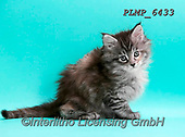 Marek, ANIMALS, REALISTISCHE TIERE, ANIMALES REALISTICOS, cats, photos+++++,PLMP6433,#a#, EVERYDAY