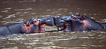 Hippopotamuses face off in Tanzania's Grumeti River. Like most mammals, male hippopotamuses engage in battles to establish dominance.