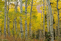 Aspen Grove in the Wasatch National Forest, Utah