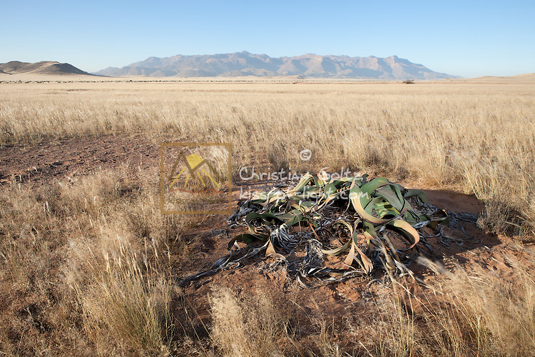 A lone Welwitschia (Welwitschia mirabilis) plant survives in the plains near the Brandberg Mountain in former Damaraland in central Namibia.