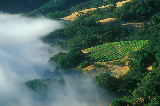 Summer fog approches vineyard on Spring Mountain
