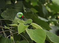 Cute parrot sitting in the thick of a Peepal tree.