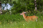 Yearling white-tailed deer bothered by insects