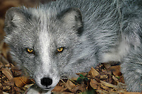 630659004 a captive wildlife rescue arctic fox alopex lagopus lays in leaf litter in an enclosure at a wildlfe rescue facility - species is native to the northern tier of north america - nikita