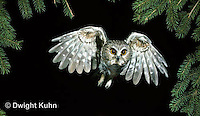 OW07-001z   Saw-whet owl - flying - Aegolius acadicus
