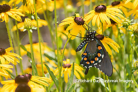 03004-01605 Pipevine Swallowtail (Battus philenor) on Black-eyed Susans (Rudbeckia hirta) Marion Co. IL