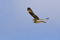 Short-eared Owl (Asio flammeus) in flight. Ontario, Canada. February.
