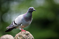Pictured: A pigeon rests on the fountain statues. Friday 07 July 2017<br /> Re: Botanical Gardens in Singleton Park, Swansea, Wales, UK.