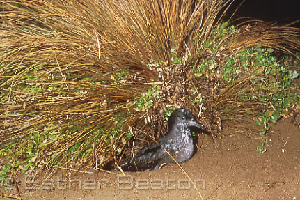 Short-tailed Shearwater or Muttonbird (Puffinus tenuirostris) in front of burrow night. Flinders Island, Tasmania