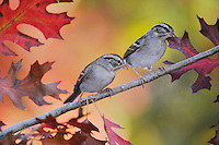 Chipping Sparrow (Spizella passerina), two adults perched on fall color branch of Texas Red Oak (Quercus buckleyi), New Braunfels, Hill Country, Central Texas, USA