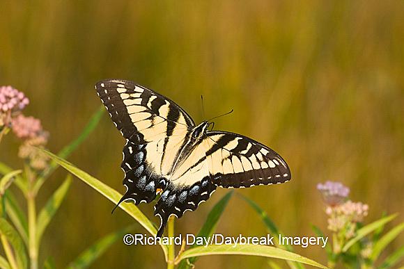 03023-025.03 Eastern Tiger Swallowtail (Papilio glaucus) on Swamp Milkweed (Asclepias incarnata) Marion Co.  IL