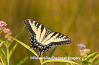 03023-025.03 Eastern Tiger Swallowtail (Papilio glaucus) on Swamp Milkweed (Asclepias incarnata) Marion Co.  IL