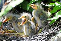 Three beautiful Green Heron Chicks in their nest at Wakodahatchee Wetlands, Delray Beach, Florida.
