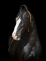 portrait of a black Marwari stallion