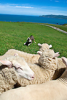 "The sheepdog was an important addition to farms throughout New Zealand. The Romney, formerly called the Romney Marsh sheep has a ""long-wool."" It is an economically important sheep breed, especially in the sheep-meat and wool export trades of New Zealand. Today the New Zealand Romney makes up makes up about 68% of the national flock of 40 million sheep."