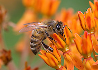 Honey Bee; Apis melifera; on butterflyweed; Asclepias tuberosa; PA, Philadelphia, Schuylkill Center