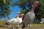 Good Shepherd Heritage Turkeys and Chickens