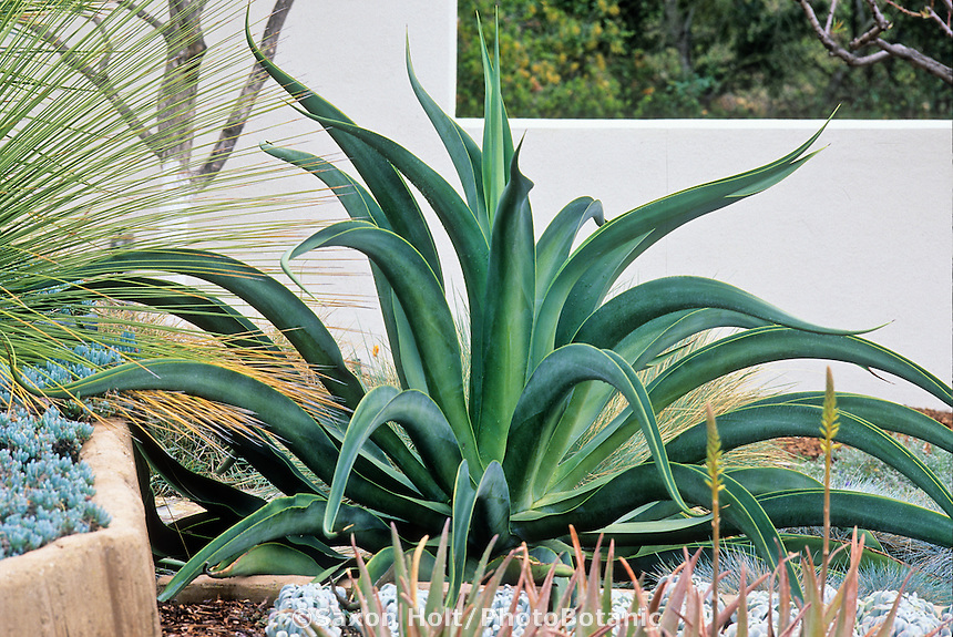 Agave americana as architecture plant in garden. Century Plant in succulent garden.