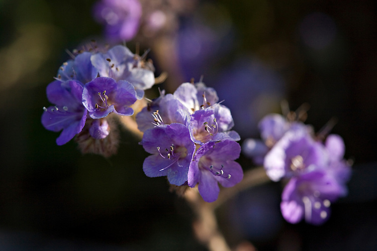 Close-up view of Scorpionweed, Phacelia crenulata, which is also known as common phacelia