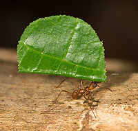 Leaf-cutter ants are often seen carrying big loads along the forest floor.