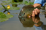A HANDHELD PAN FISH; BLUEGILL