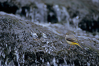 Grey Wagtail, Motacilla cinerea, female in river, Oberaegeri, Switzerland, April 1995