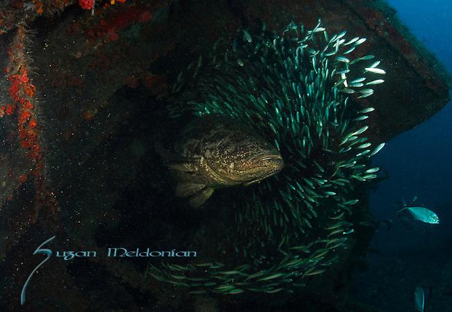 Goliath Grouper, Epinephelus itajara, Goliath Grouper Migration; Sept 2013; MV Caster Wreck; Florida; USA; Amazing Underwater Photography; Marine behavior