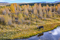 A large Bull Moose  walks along the Gros Ventre River at the peak of fall colors in Grand Teton National Park, Wyoming..