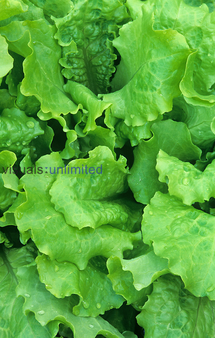 Lettuce leaves of the Black-Seeded Simpson variety (Lactuca sativa).