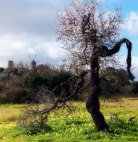 Spanien, Mallorca, bei Felanitx: bluehender, urig gewachsener Mandelbaum | Spain, Mallorca, near Felanitx: crooked, blossoming almond tree