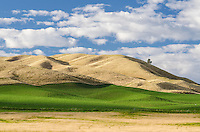 Green crop and dry hills on rolling farmland near Omakau, Central Otago, South Island, New Zealand - stock photo, canvas, fine art print