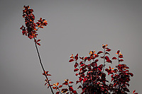 High in a cherry tree, a branch stands above its neighbors, like a choir director leading the chorus. A chorus of red leaves glowing in late afternoon light.