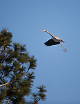a great blue heron at a rookery in ponderosa pine trees in montana