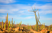 Boojum tree and cactus in Baja California, Mexico