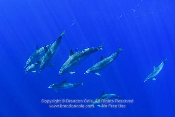 WQ71682-D. Atlantic Spotted Dolphins (Stenella frontalis) swimming together. Appearance varies greatly between different stocks throughout their range, and based on age. In general, a calf is born unspotted, and as it matures spots develop and increase. Azores, Portugal, Atlantic Ocean.<br /> Photo Copyright © Brandon Cole. All rights reserved worldwide.  www.brandoncole.com