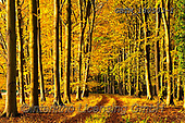 Tom Mackie, LANDSCAPES, LANDSCHAFTEN, PAISAJES, photos,+Britain, British, East Anglia, England, English, Europe, European, Great Britain, Norfolk, Thetford, Tom Mackie, UK, atmosphe+re, atmospheric, autumn, autumnal, beech, color, colorful, colour, colourful, composition,country lane, deciduous, dramatic o+utdoors, environment, environmental, fagus, fall, forest, gold, golden, horizontal, horizontals, inspiration, inspirational,+inspire, landscape, landscapes, lane, leading lines, leaves, mood, moody, path, pathway, p,Britain, British, East Anglia, Eng+,GBTM180503-1,#l#, EVERYDAY