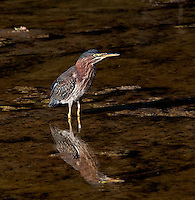 Green Heron with reflection in river